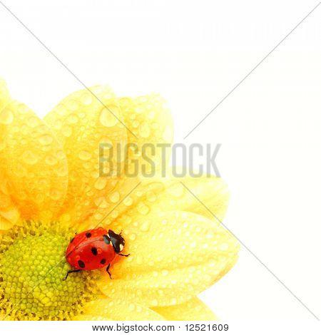 ladybug on yellow flower