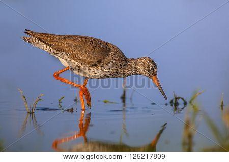 Water Wading Common Redshank