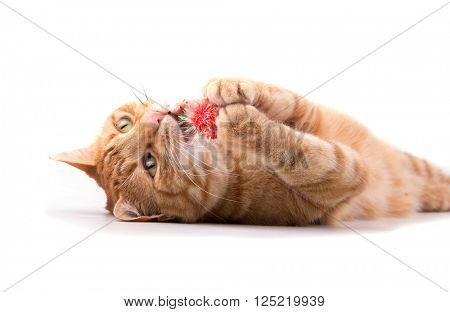 Ginger tabby cat playing with a red ball, holding it in his paws, biting it - on white