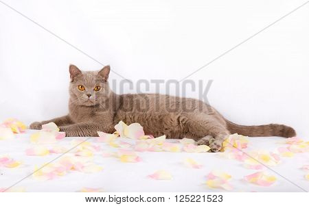 Beautiful cat is lying with rose petals on a white background