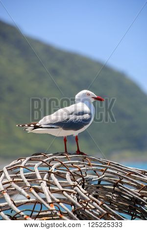 Sea gull on a lobster basket in Kaikoura