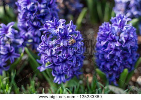 Few Flowers Of Blue Hyacinth Race Usabelle.