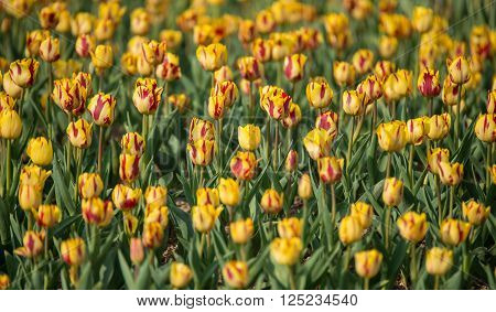 Flowerbed Of Yellow And Red Tulips In The Morning Light