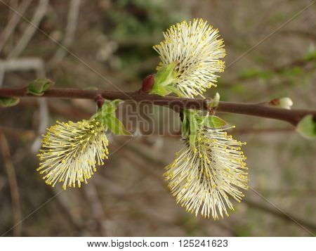 Male catkin of willow, flowering catkin of sallow