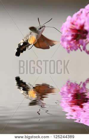 Behavior resembles a hummingbird, sleep nectar from the cup flowers using suction cups, floating in the air. Gray-brown wings, covered with black lines, and the rear - orange.