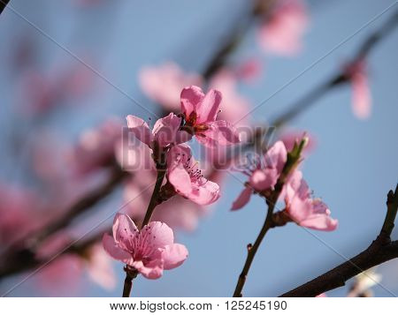 Close up of a peach tree, natural background in spring time