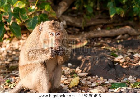 Monkey waiting for and looking for chance to stolen food in an island of andaman sea thailand.