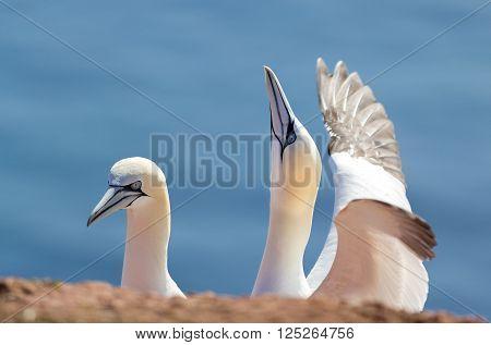 Northern Gannet, Birds In Love