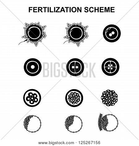 the phases of embryo development in the early stages
