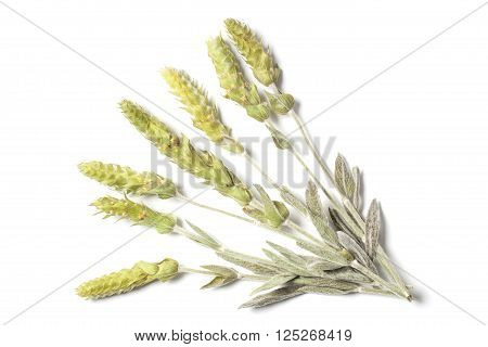 Several dried herbs stems of a mountain tea Sideritis Scardica isolated on white background. The herb also called The Green Hero of the Planet.