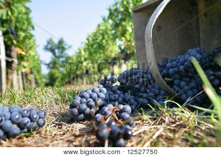 Bunches of grapes in vineyards