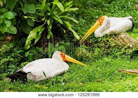 The milky stork (Mycteria cinerea). Big bird with yellow beak. Malaysia. poster