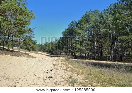 a view of planted pine wood on sandy steppe grounds in Southern part of Ukraine