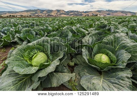 Cabbage For Harvest