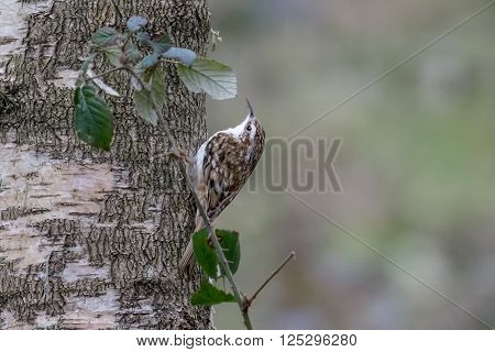 Eurasian Treecreeper (Certhia familiaris) scaling a tree for food.