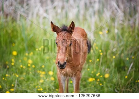 Walking foal on meadow at summer time