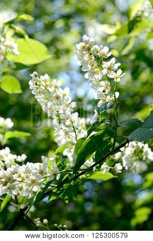 White hackberry flowers on a green branch close-up. Blooming spring tree