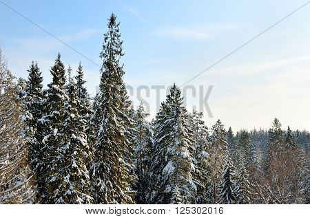 Snowcovered fir trees. Sunny winter landscape panorama