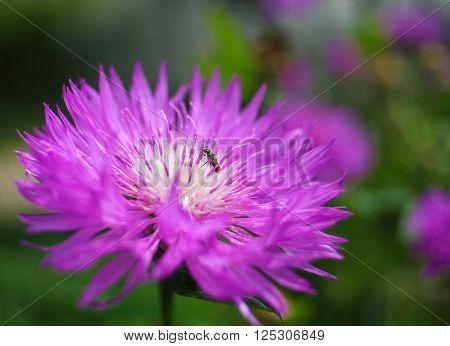 Purple flowers on beautiful bokeh. bee on a purple flower