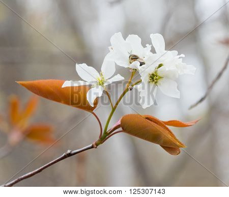 Serviceberry (Amelanchier) flower blossoms in early spring poster