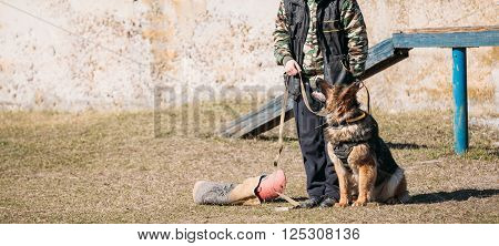 German shepherd dog training. Alsatian Wolf Dog. Deutscher, dog