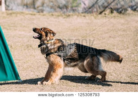 Furious German shepherd dog training. Biting dog. Alsatian Wolf Dog. Deutscher, dog