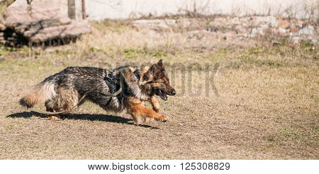 Furious German shepherd dog training. Running dog. Alsatian Wolf Dog. Deutscher, dog