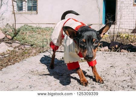 Funny Cute Black Miniature Pinscher Pincher Outdoor