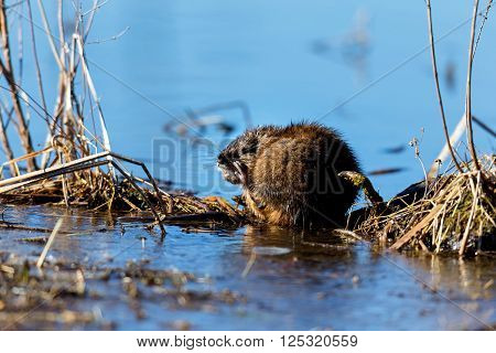 The muskrat Ondatra zibethicus is a fairly large rodent commonly found in the wetlands and waterways of North America. poster
