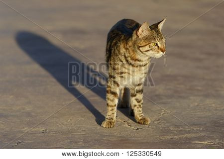 Egyptian tabby domestic cat stands looking at sunrise with long shadow on a concrete