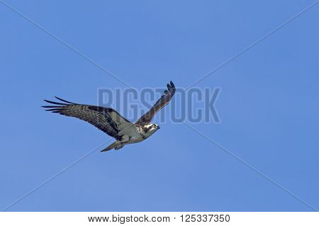 Soaring through the blue sky. An osprey in north Idaho soars up in the clear blue sky.