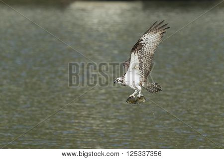 An osprey in north Idaho above Fernan Lake flies off with a fish it just caught.
