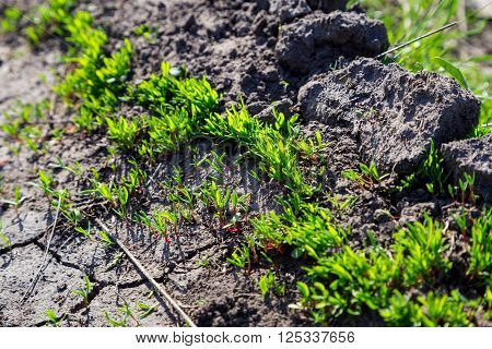 new green grass sprouts on cracked soil, natural outdoor background with selective focus