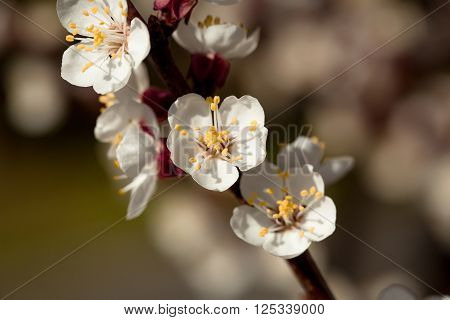 Spring Blooming Apricot Flowers