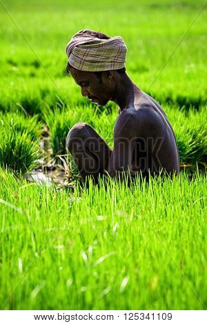 TAMIL NADU, INDIA - SEPTEMBER 12, 2009: Unidentified farmer woking in grice rice field. Agriculture is the 3rd econimical activity in the state comprising 21 per cent