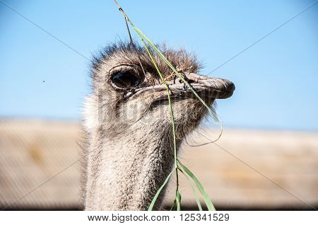 Black African ostrich or Struthio camelus outdoors