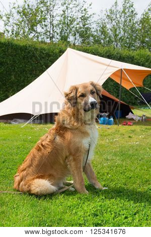 Dog near the tent at campground