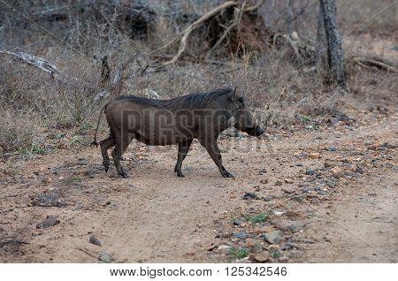 Wild Boar Africa, Brown, Hauer, Safari, Walking, Wild, Boar, Wildlife, alone, animals, cross, bush, crossing, fur, individually, marching, tail