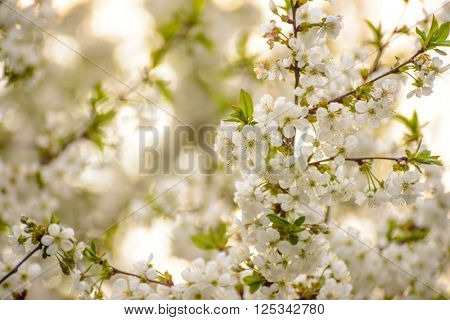 White Spring Cherry Flowers on the Bright Blurred Background