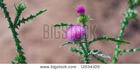 Beautiful Thistle Plant During The Flowering Period
