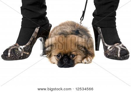 Tired pekinese puppy lying at heels. Isolated on white poster
