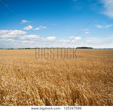field of wheat and beautiful blue sky