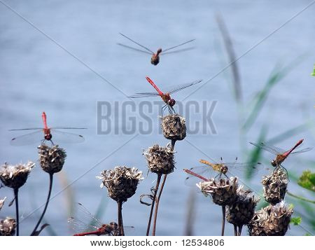 Dragon-fly in air