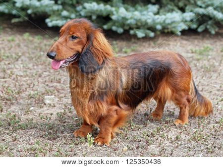 Portrait of a red long haired dachshund on natural background