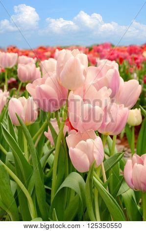 Blossom Tulip In The Spring Garden.