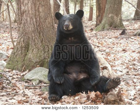 all this black bear needs is a hassock to put his hind leg on. poster