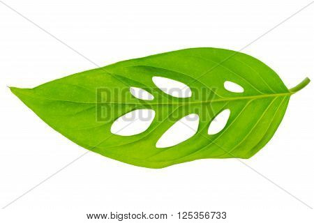 beautiful unusual green monstera (var. expilata) leaf is isolated on white background close up