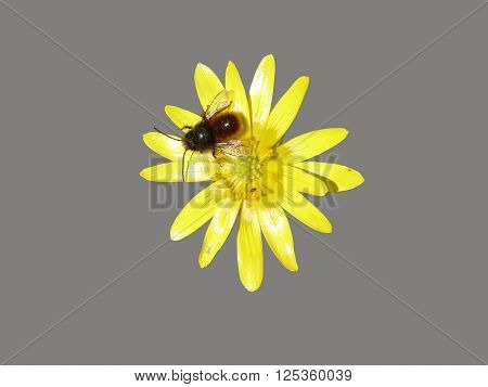 Yellow flower of Ficaria verna with bee on a grey background