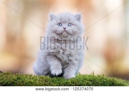 adorable british longhair kitten outdoors in spring