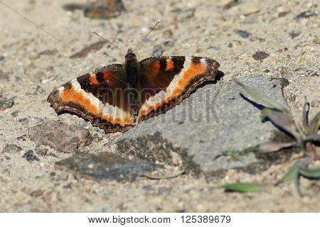 Milbert's Tortoiseshell Butterfly (Aglais milberti) in Eastern Washington